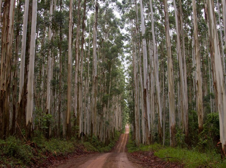 Eucalyptus plantation in Brazil