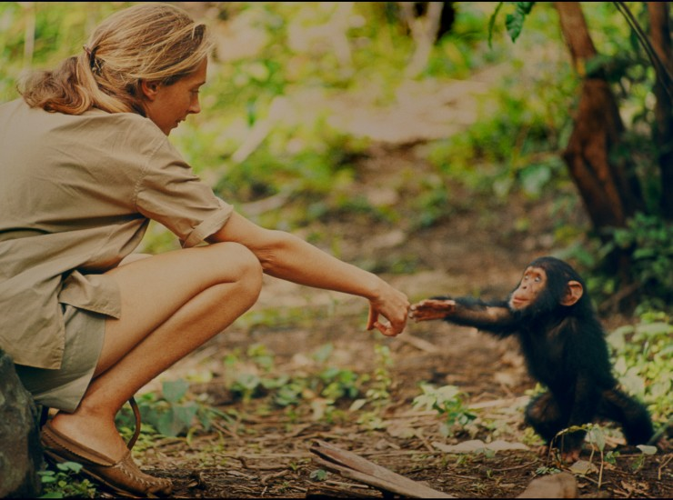 Gombe, Tanzania - Jane Goodall and infant chimpanzee Flint reach out to touch each other's hands. Flint was the first infant born at Gombe after Jane arrived. With him she had a great opportunity to study chimp development—and to have physical contact, which is no longer deemed appropriate with chimps in the wild. The feature documentary JANE will be released in select theaters October 2017. (National Geographic Creative/ Hugo van Lawick)